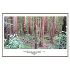 California Ancient Redwoods Poster