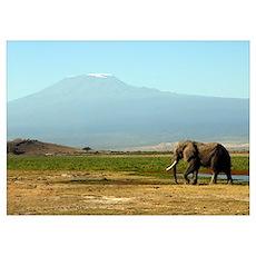 African Elephant at Mt. Kilimanjaro Poster