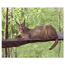 Caracal Cat Laying Down Framed Print