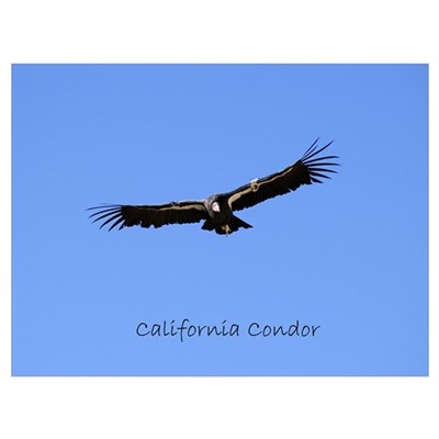 California Condor Canvas Art