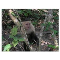 White-faced Capuchin Monkey Poster