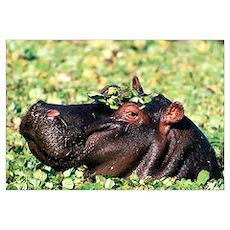Hippo Casanova Hippopotamus Poster
