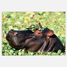 Hippo Casanova Hippopotamus