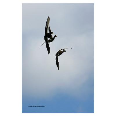 Ducks1140-032 Poster
