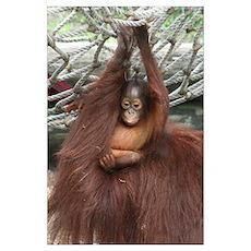 -Orangutan Poster