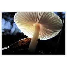 Mushroom Gills Backlit