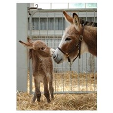- Miniature Donkey and Foal Canvas Art