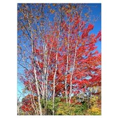 of Birch Trees in Autumn Poster