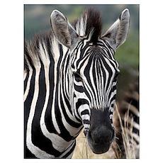 Single Zebra Poster