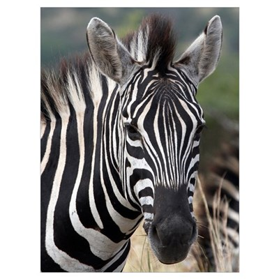 Single Zebra Framed Print