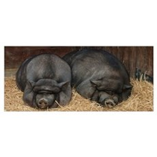 Pot Bellied Pigs Poster