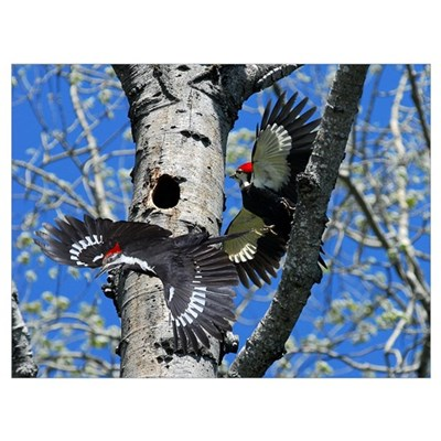 Pileated Woodpecker Family Framed Print