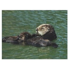 Mom and Baby Sea Otters Poster