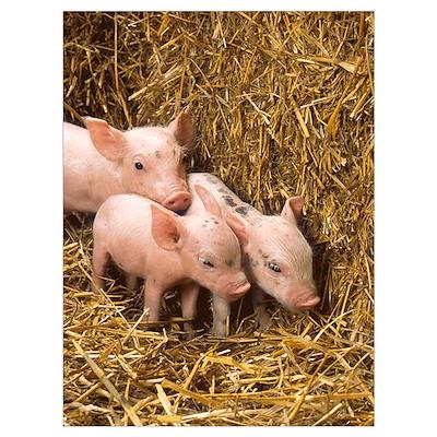 Piglets Poster