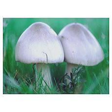 Snuggled Dreams - Mushroom Poster