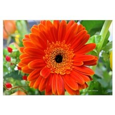 Orange Gerbera Daisy Print Canvas Art