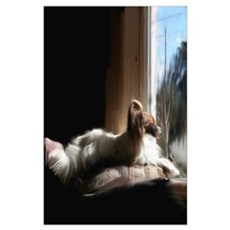 Papillon in Window Poster