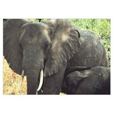 Elephant Pair Poster
