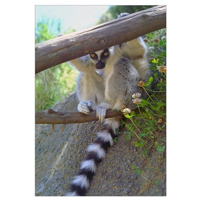 Lemur Peeking Framed Print
