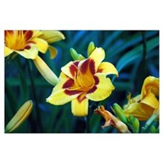 TWO-TONED YELLOW LILY 0122 Poster