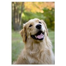 Good Boy Golden Canvas Art