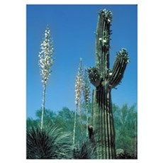 Saguaro Cactus / Yucca Plant Poster
