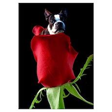 Red Rose Boston Terrier Poster
