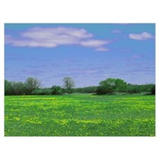Yellowgreen Field and Blue Sky Poster