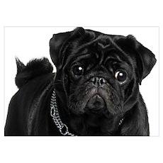 Black Pug Poster
