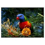 Australian birds Posters