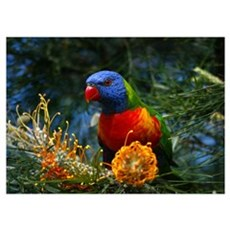 Parrots & Lorikeets Poster