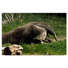 Giant Anteater by BuffaloWorks Poster
