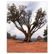 Sedona Tree 11x14 Poster