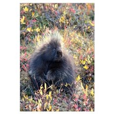 Porcupine Canvas Art