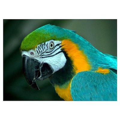 Macaw Closeup Poster