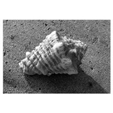 Conch Shell (B&W) Poster