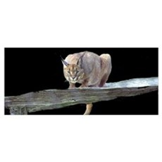 Caracal Cat Crouching Poster