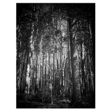 Spotlighted Pines Poster
