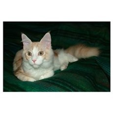 'Pink' Maine Coon Cat Wazzat?! Poster