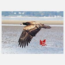 Juve. Wild Bald Eagle