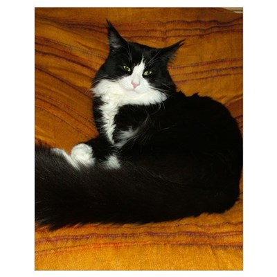 Snug Black Amp White Maine Coon Poster