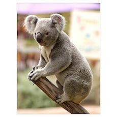 Koala Bear 8 Poster