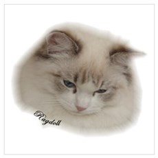 Sweet Ragdoll Cat Poster