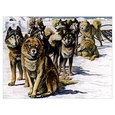 Sled Dog Husky Portrait Poster