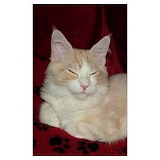 Smug 'Pink' Maine Coon Cat Poster