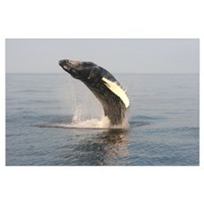 -Whale (Humpback) Poster