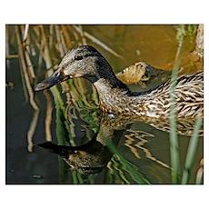 Backyard Duck 2 Poster
