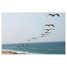 Pelican Birds Flying Poster