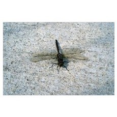 Black and Gold Dragonfly Poster