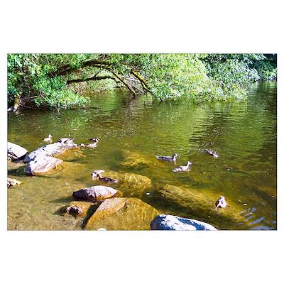 Ducks At Lake Padden Poster